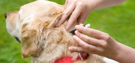 Autumn Dog Ticks: Frontline Prevention and Treatments